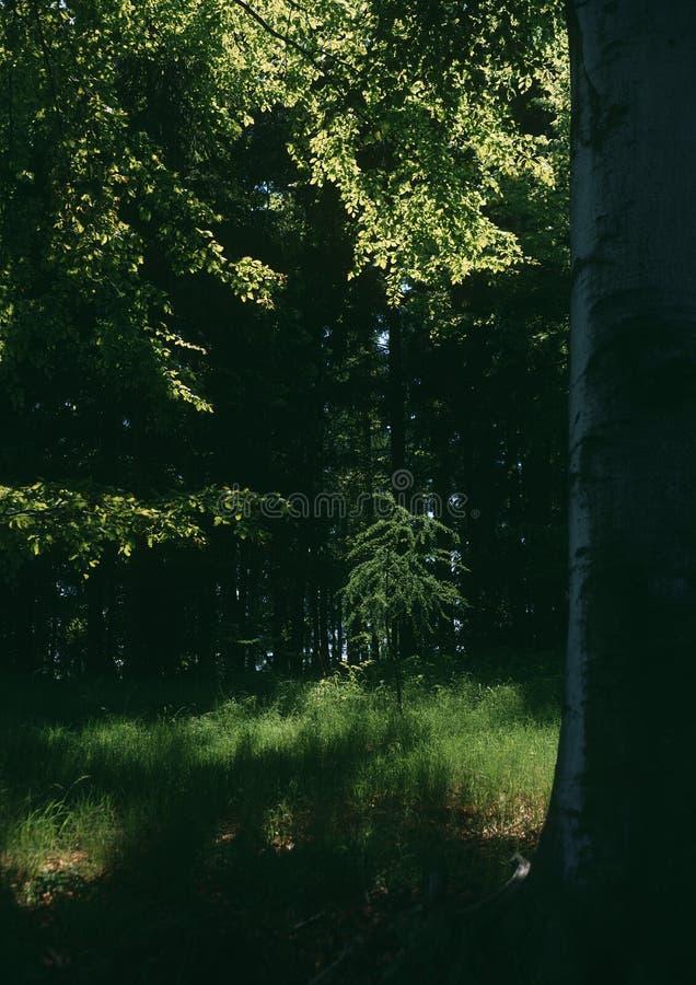 Still Life with Spring larch tree