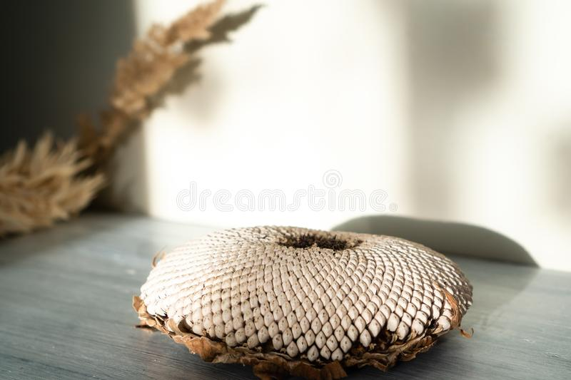 Still life of sunflower flower head with white dry seeds on light wooden surface on light wall background with shadow and sunshine royalty free stock image