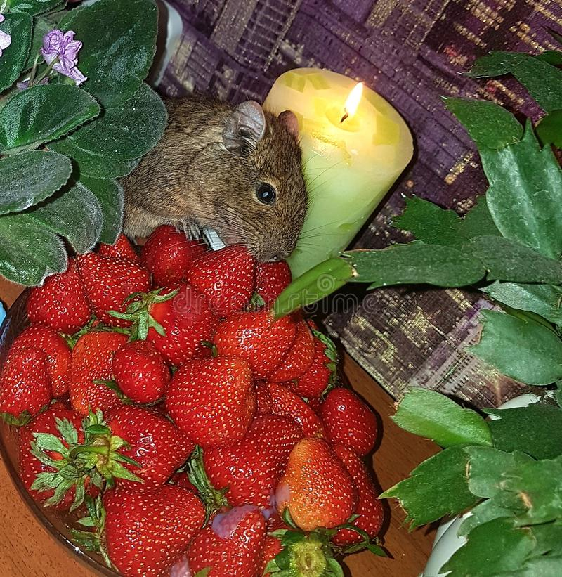 Still life. On the table in the pialok is a bright red strawberry that the hamster eats. The candle is burning. Blossoming violet royalty free stock photography