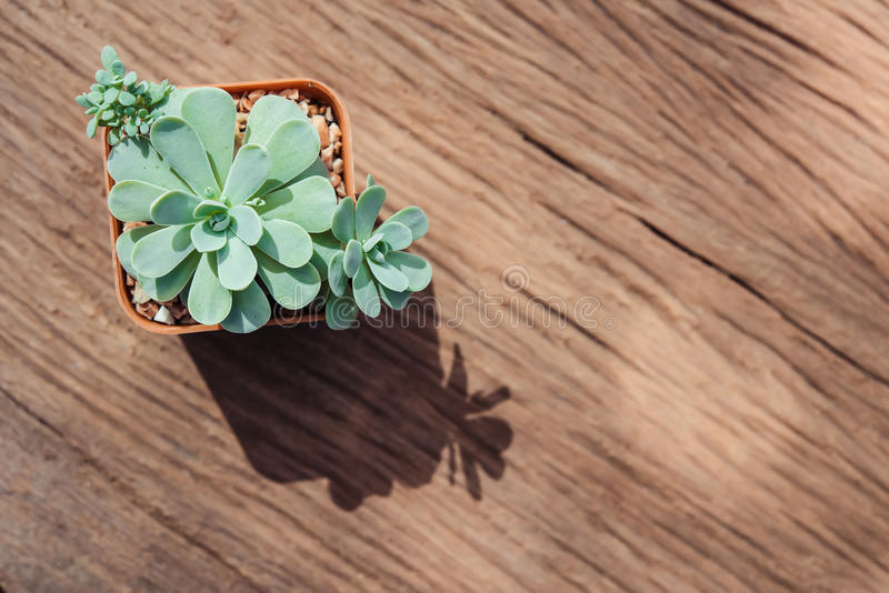 Still Life of Three Cactus Plants on Vintage Wood Background Tex stock image
