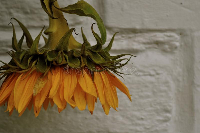 Hanging sunflower head royalty free stock images