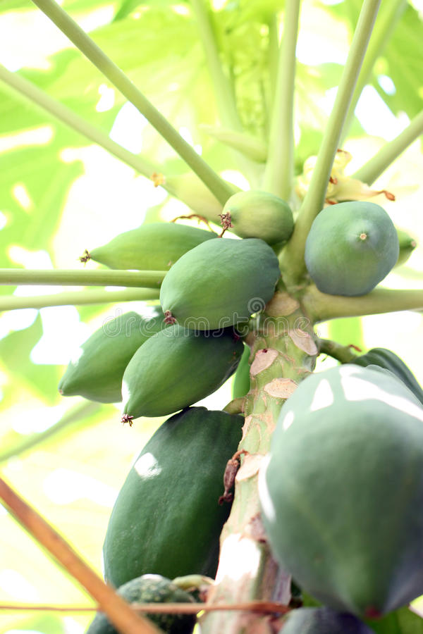 Still not mature of papaya on tree. royalty free stock photography