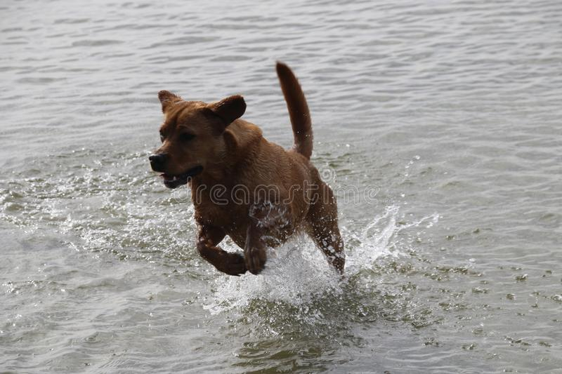 Red Fox Labrador Retriever jumping out of the water. Still of Red Fox Retriever jumping out of the water of a lake stock photography