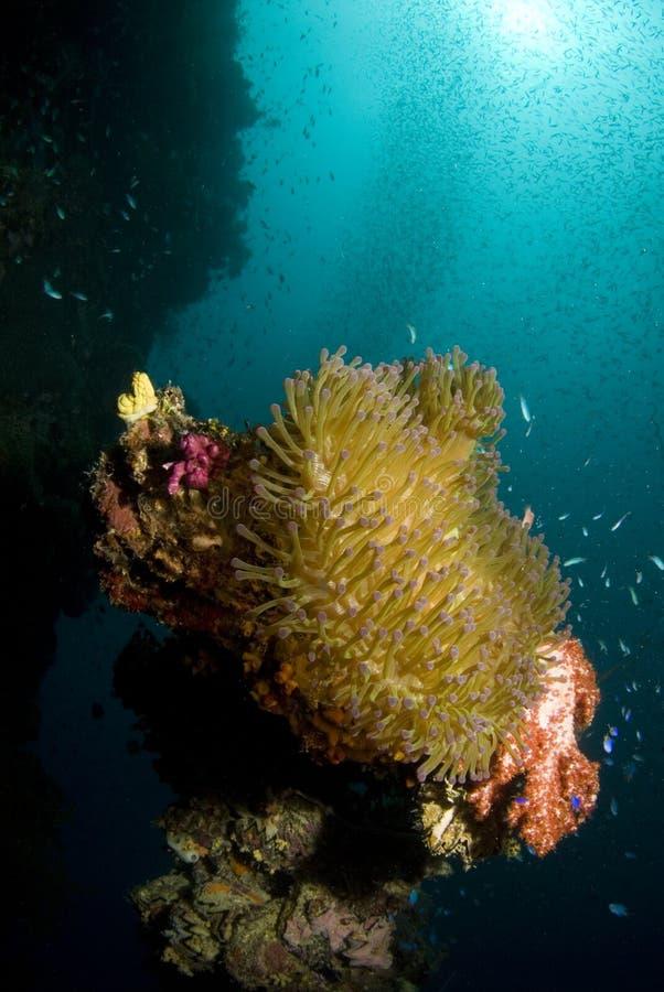 Stillahavs- anemonkorallhav arkivbilder