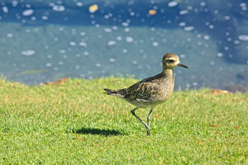 Stillahavs- fågel för guld- brockfågel royaltyfri fotografi