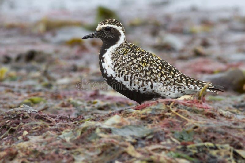 Stillahavs- guld- brockfågel som står bland havsväxten royaltyfria foton
