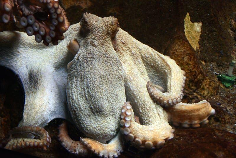 Stillahavs- jätte- bläckfisk royaltyfri foto