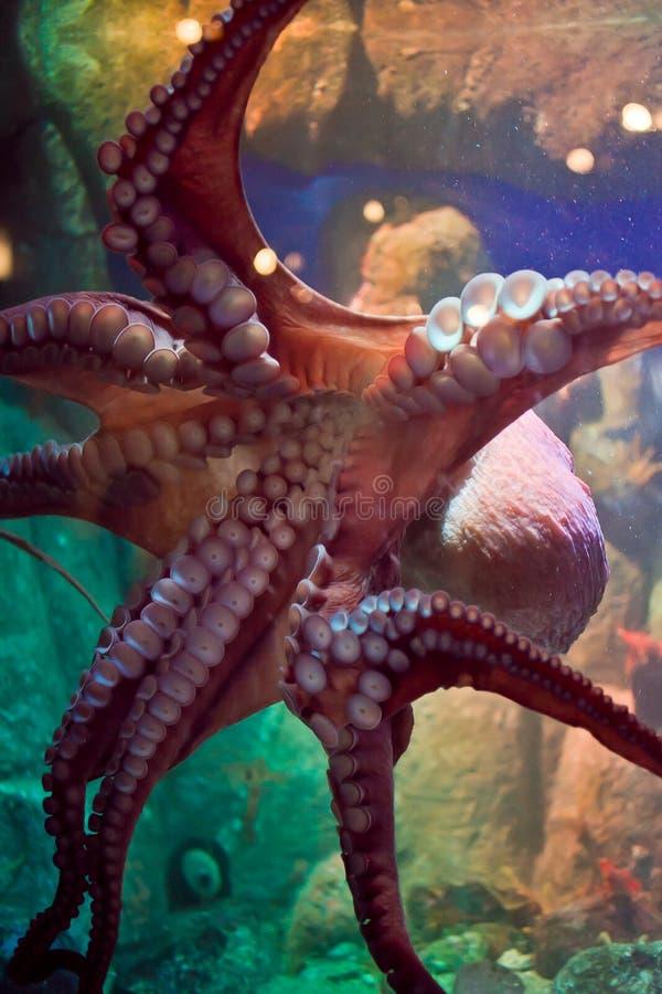 Stillahavs- jätte- bläckfisk royaltyfri fotografi