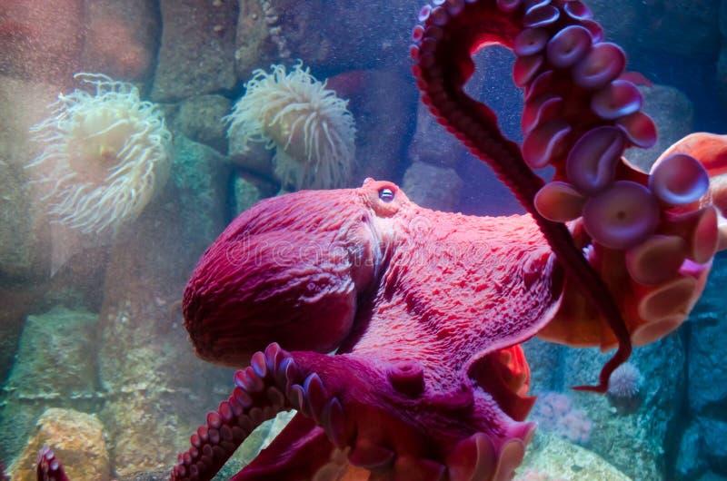 Stillahavs- jätte- bläckfisk royaltyfria foton