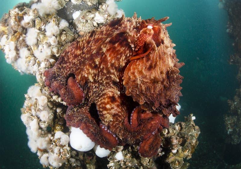 Stillahavs- jätte- bläckfisk fotografering för bildbyråer
