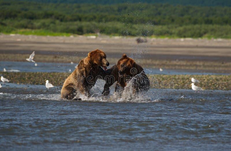 Stillahavs- kust- brunbjörnususarctos som slåss - som är grizzliy - royaltyfri foto