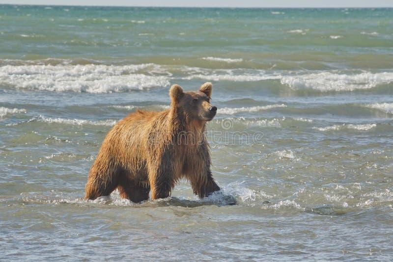 Stillahavs- kust- grizzliy brunbjörnususarctos - - på Ken fotografering för bildbyråer