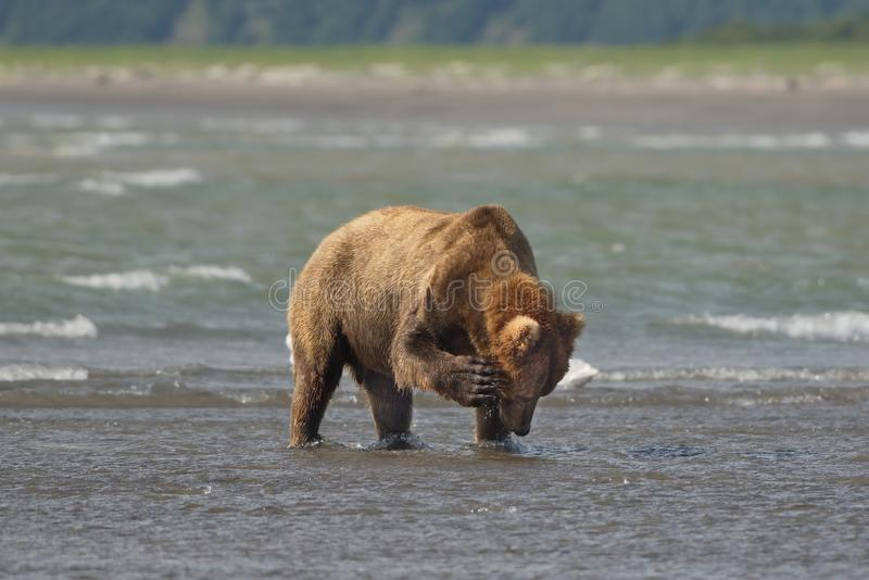 Stillahavs- kust- grizzliy brunbjörnususarctos - - på Ken arkivbilder
