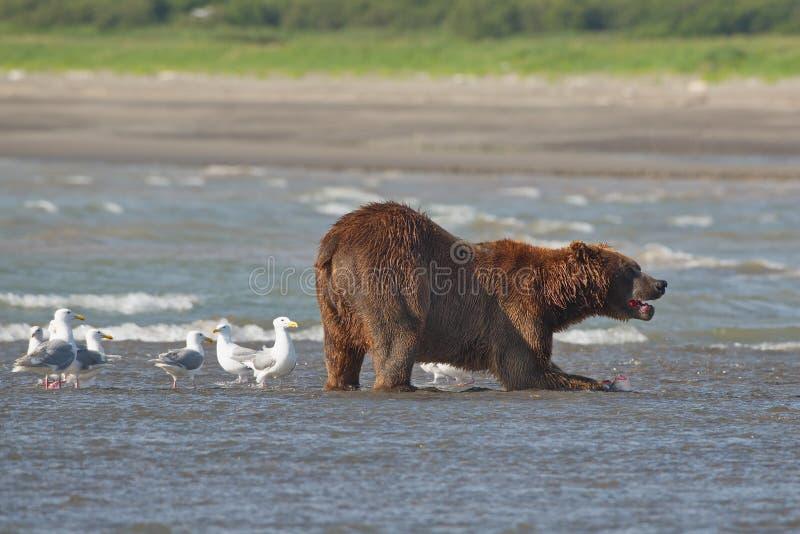 Stillahavs- kust- grizzliy brunbjörnususarctos - - på Ken arkivbild