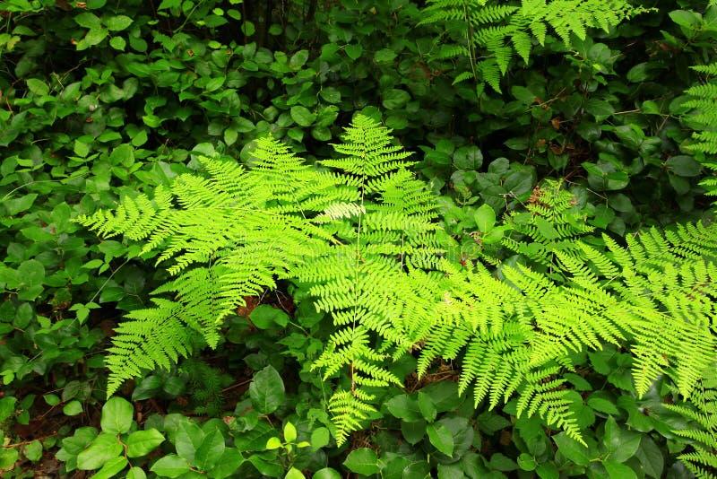 Stillahavs- nordvästlig skog med ormbunkar i sommar royaltyfri bild
