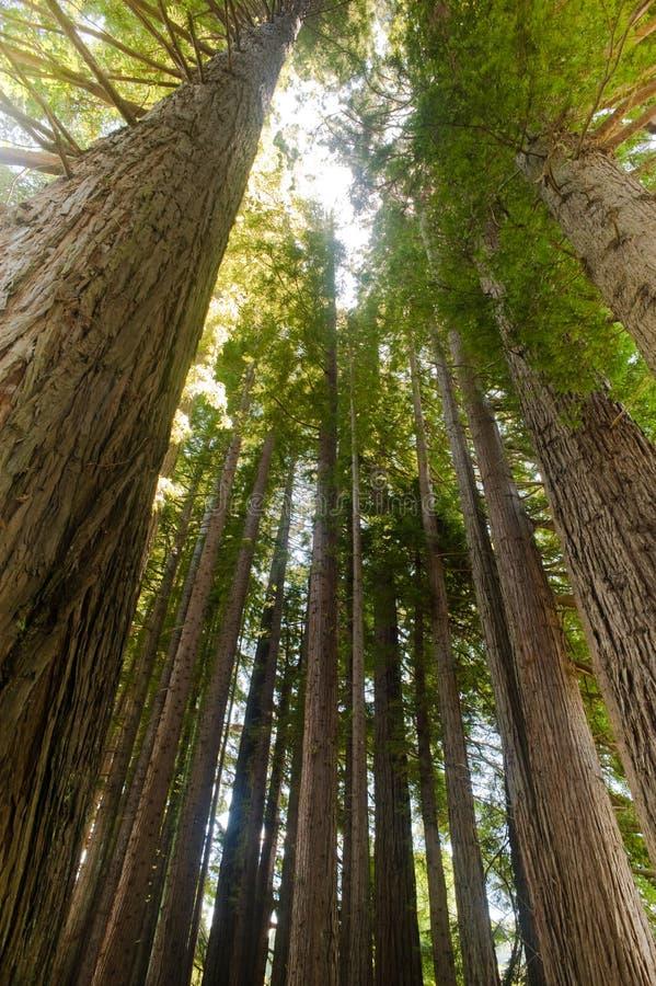 Stillahavs- redwoodträd arkivfoton