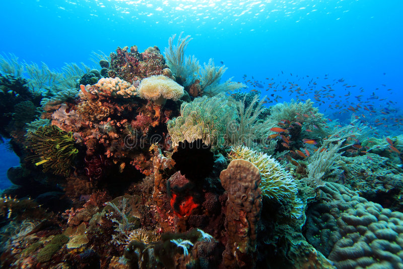 Stillahavs- rev för korallindo arkivbilder