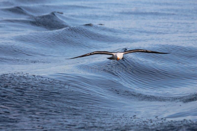 Stillahavs- Seagull i flykten royaltyfri foto