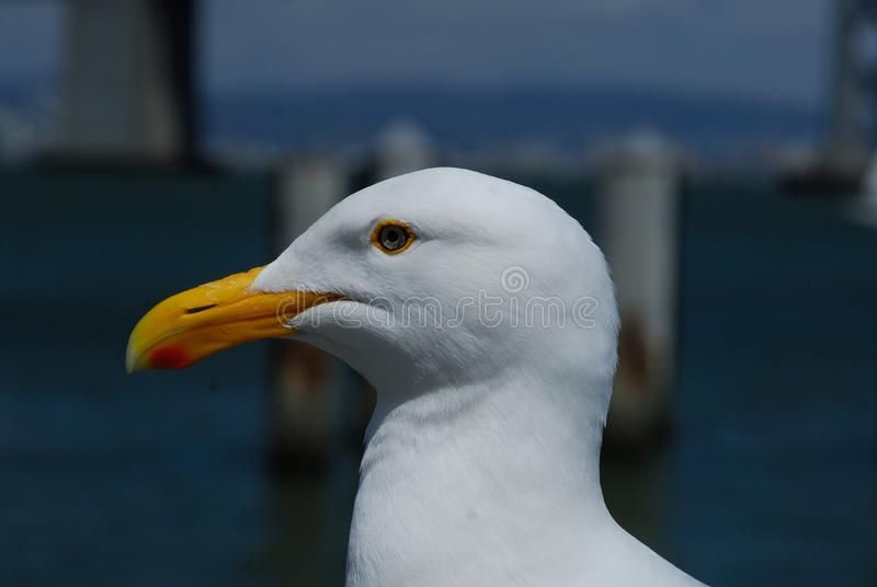 Stillahavs- Seagull i San Francisco arkivbilder