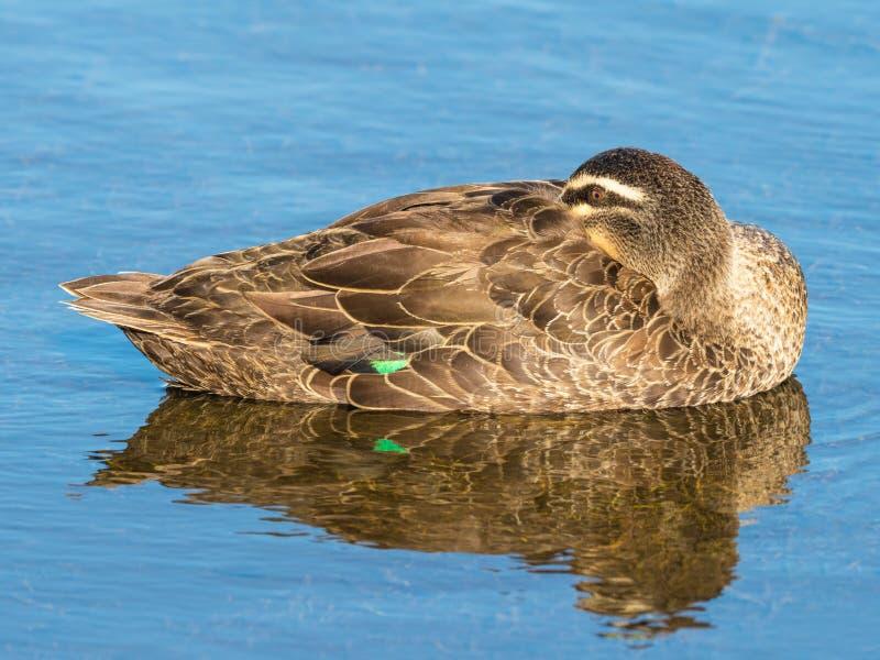 Download Stillahavs- Svarta Duck Relaxing Arkivfoto - Bild av västra, reflexion: 106826870