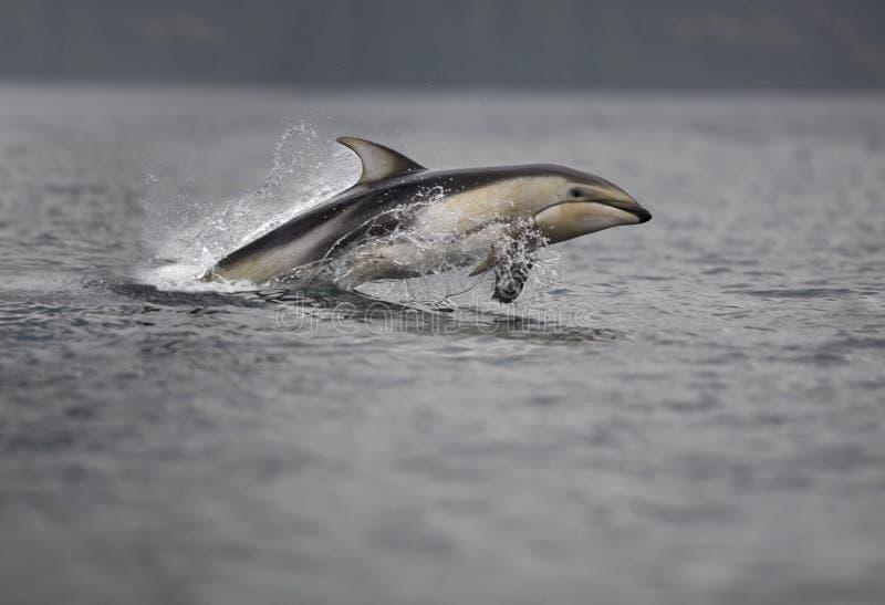 Stillahavs- Vit-siddelfin arkivbilder