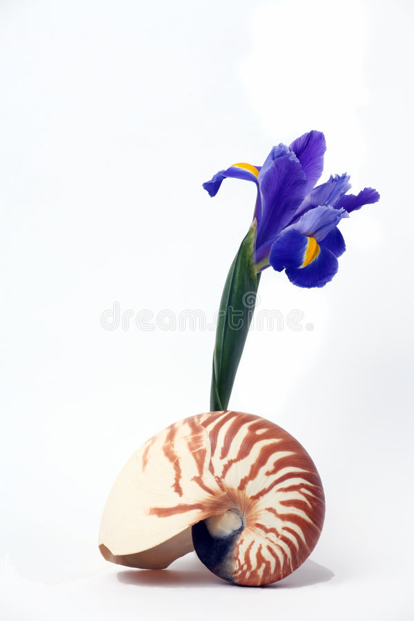 Stilleven, Zeeschelp Nautilus en Purpere Iris royalty-vrije stock foto's