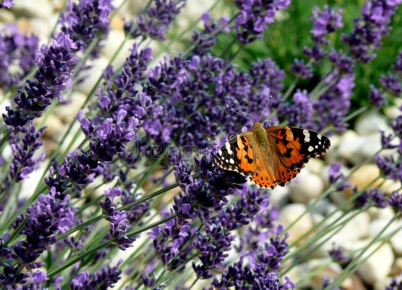 Stillgestandener Schmetterling auf Lavendelfeld stockfotografie