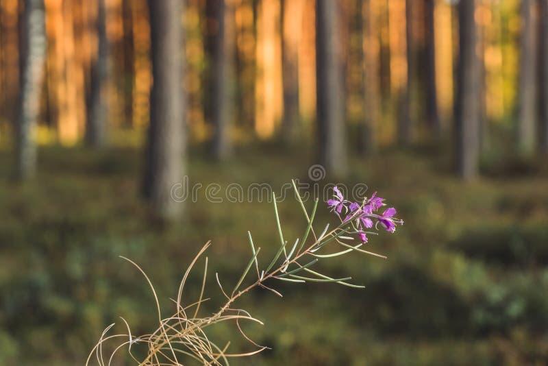 Stillhet och Sunny Summer Day i skogen, med solen som skiner till och med träden, isolerade blomman i förgrund och suddiga träd i royaltyfri foto