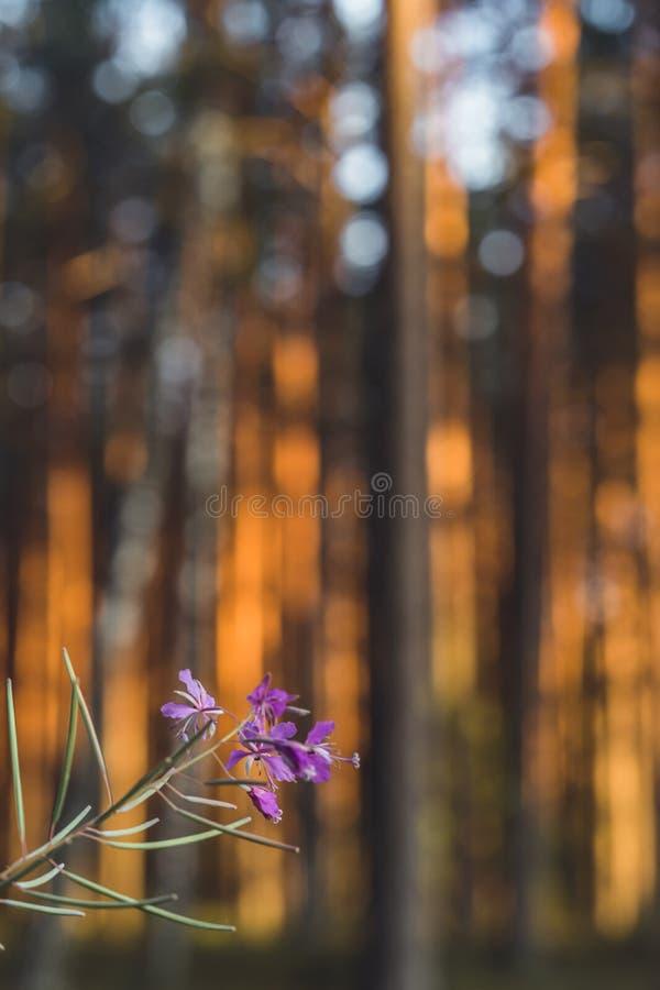 Stillhet och Sunny Summer Day i skogen, med solen som skiner till och med träden, isolerade blomman i förgrund och suddiga träd i royaltyfri bild