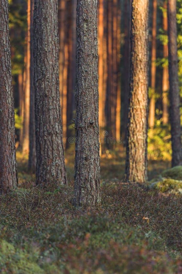 Stillhet och Sunny Summer Day i skogen, med solen som skiner till och med träden vegetation och flora av trän, bakgrundsmaterial arkivfoton