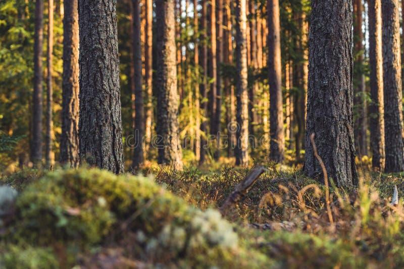 Stillhet och Sunny Summer Day i skogen, med solen som skiner till och med träden vegetation och flora av trän, bakgrundsmaterial royaltyfria foton