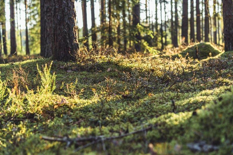 Stillhet och Sunny Summer Day i skogen, med solen som skiner till och med träden vegetation och flora av trän, bakgrundsmaterial arkivbild