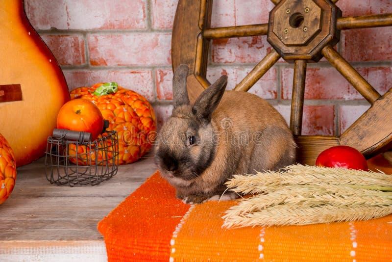 Stillleben zum Tag der Danksagung mit Herbstgemüse, Frucht, Kürbis, Weizen und lustigem, nettem Kaninchen, Häschen hallo stockbild