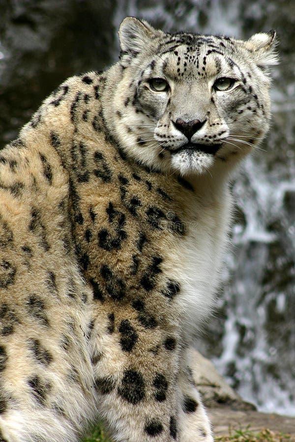 Download Stillstehen stockfoto. Bild von cougar, katzen, schnee, groß - 39702