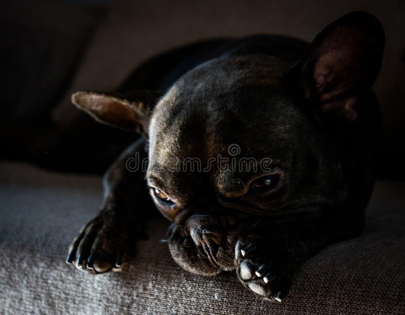 Stillstehen der französischen Bulldogge stockbilder