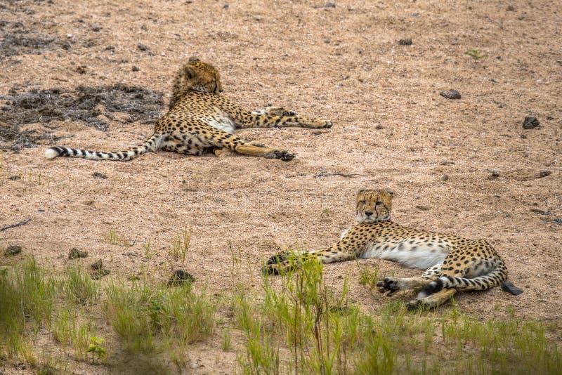 Stillstehen mit zwei Geparden lizenzfreies stockbild
