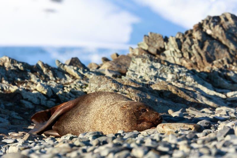 Stillstehende Dichtung auf einem Strand in Halbmond-Insel, die Antarktis stockbilder