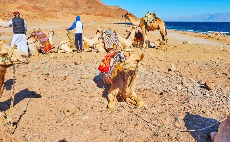 Stillstehende Kamele, Sinai, Ägypten stockfotos