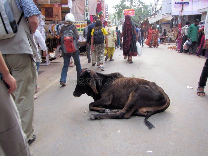 Stillstehende Kuh, Pushkar-Kamel ehrlich, Indien lizenzfreies stockfoto