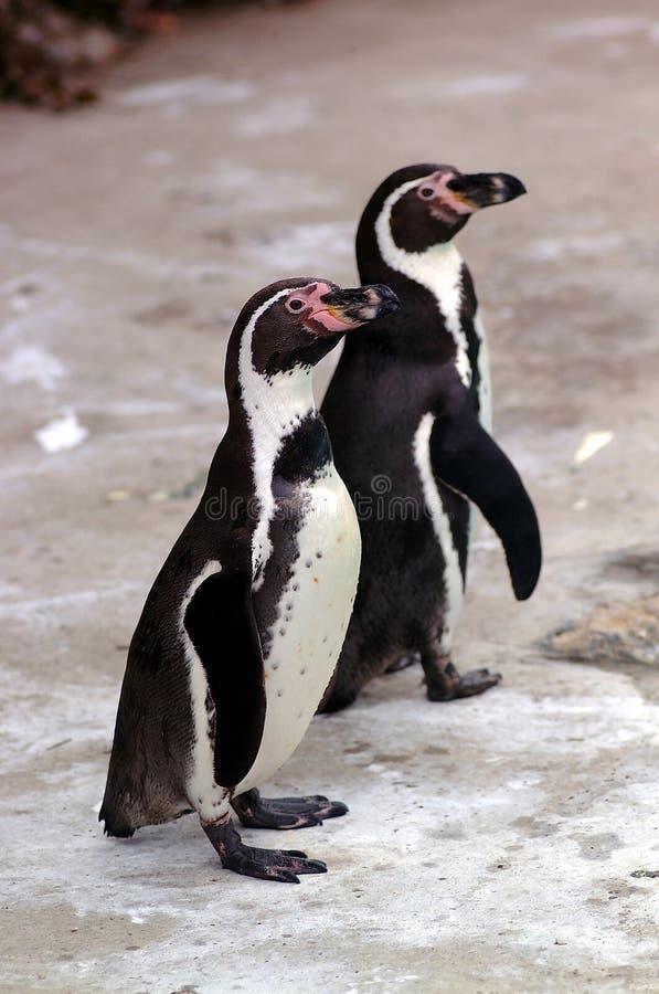 Stillstehende Pinguine stockfoto