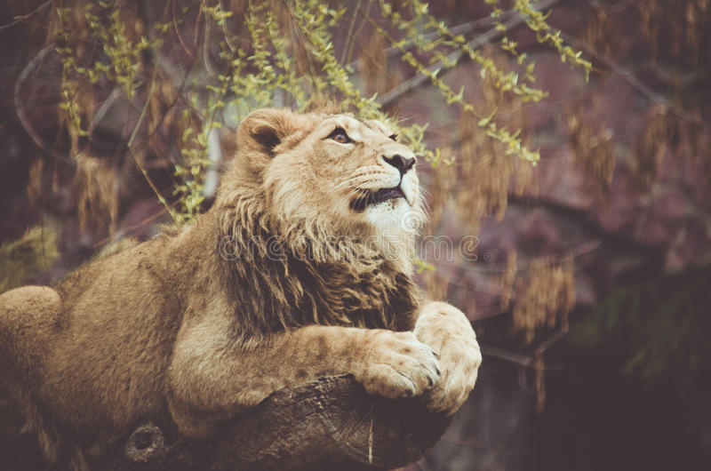 Stillstehender Löwe lizenzfreie stockbilder