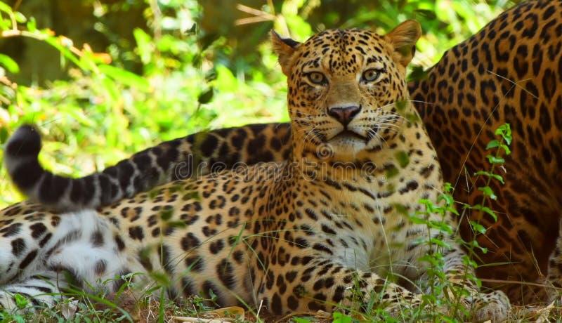 stillstehender Leopardpanther, auf Baum sich zu entspannen - Snmek stockfotografie