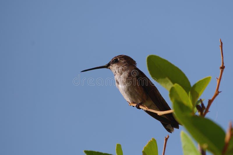 Stillstehendes Humingbird auf Niederlassung lizenzfreie stockfotografie
