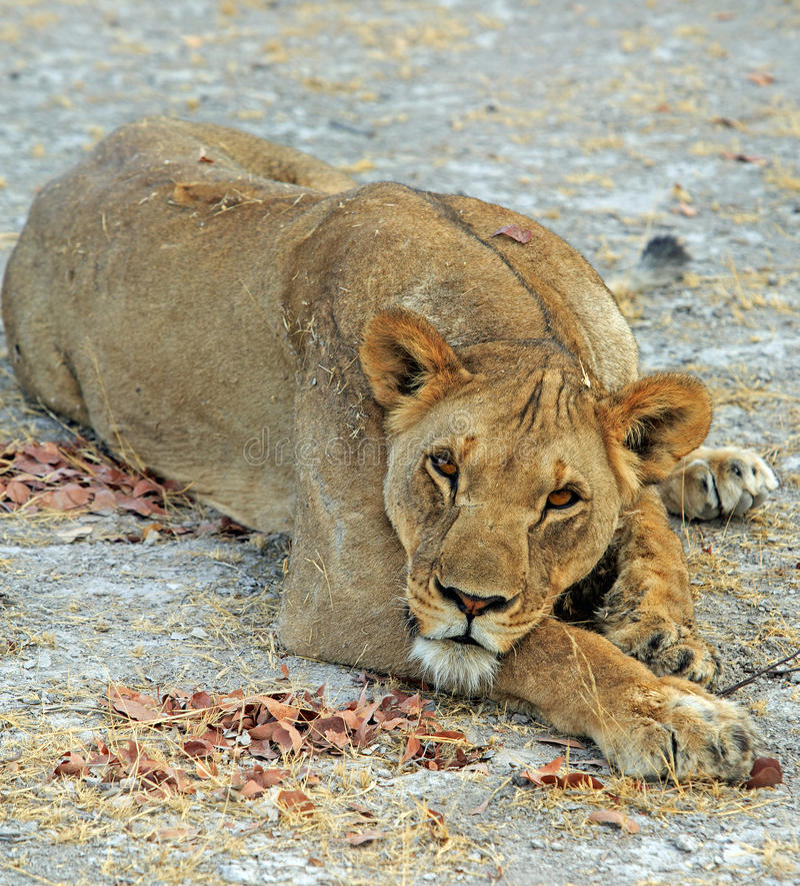 Stillstehendes Kamera dorectly untersuchen der Löwin - Etosha, Nationalpark, Namibia lizenzfreie stockfotografie