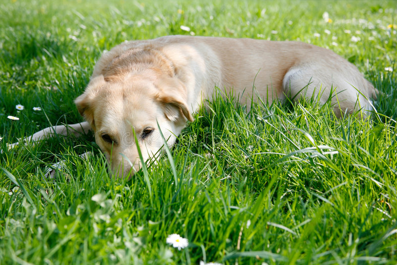Stillstehendes Labrador stockfotos