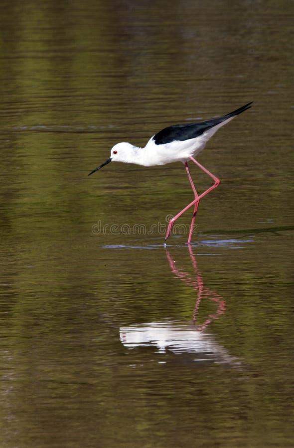Stilt Nero-alato - Botswana fotografia stock