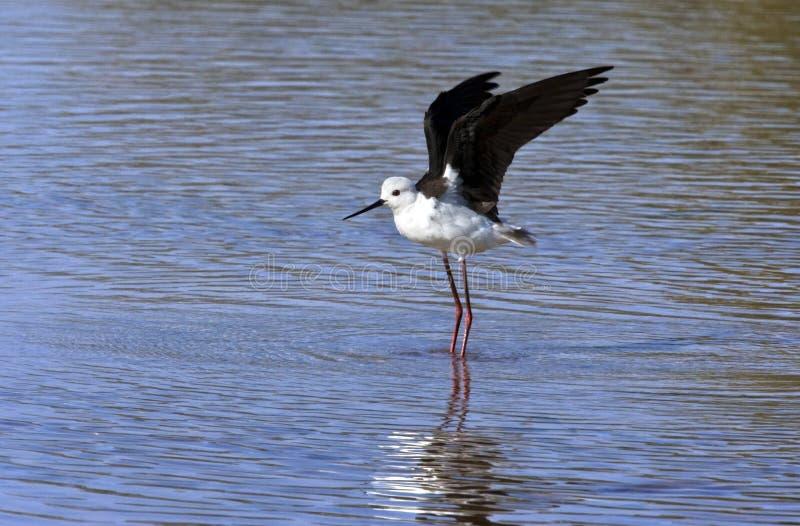 Stilt Nero-alato - Botswana fotografia stock libera da diritti