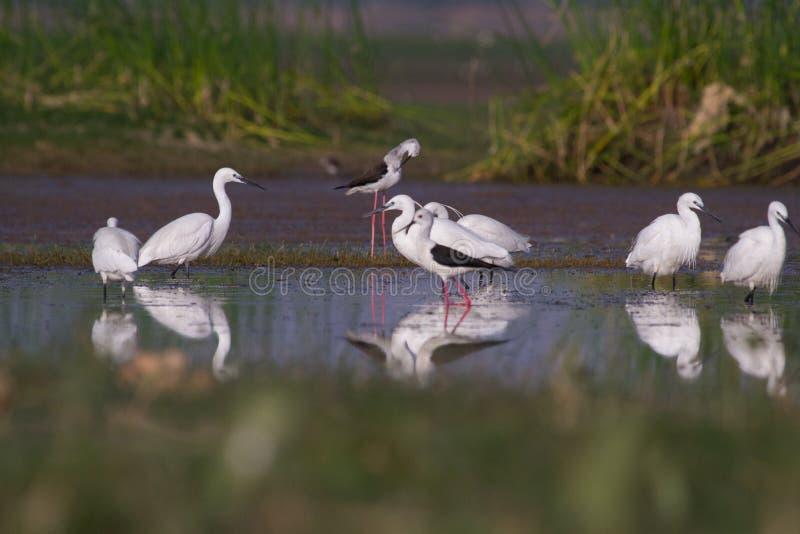 Stilts i Średni egrets łowi w stawie i Trochę obraz royalty free