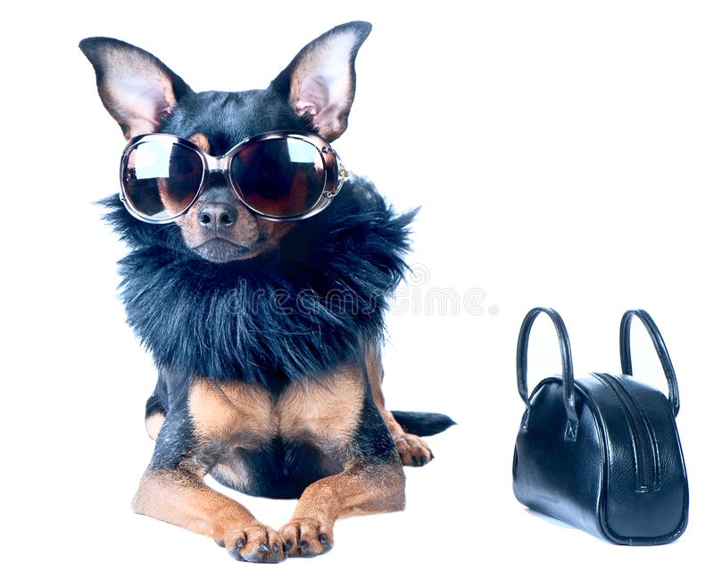 Stilvoller, schicker Hund Toy Terrier, Chihuahua stockfotos