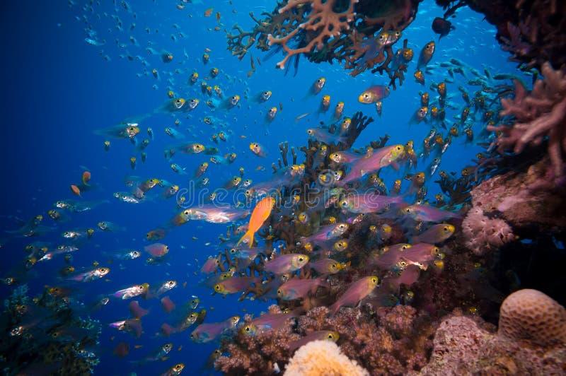 Stim av Glassfish (guld- sopare) i klart blått vatten av Röda havet arkivbilder